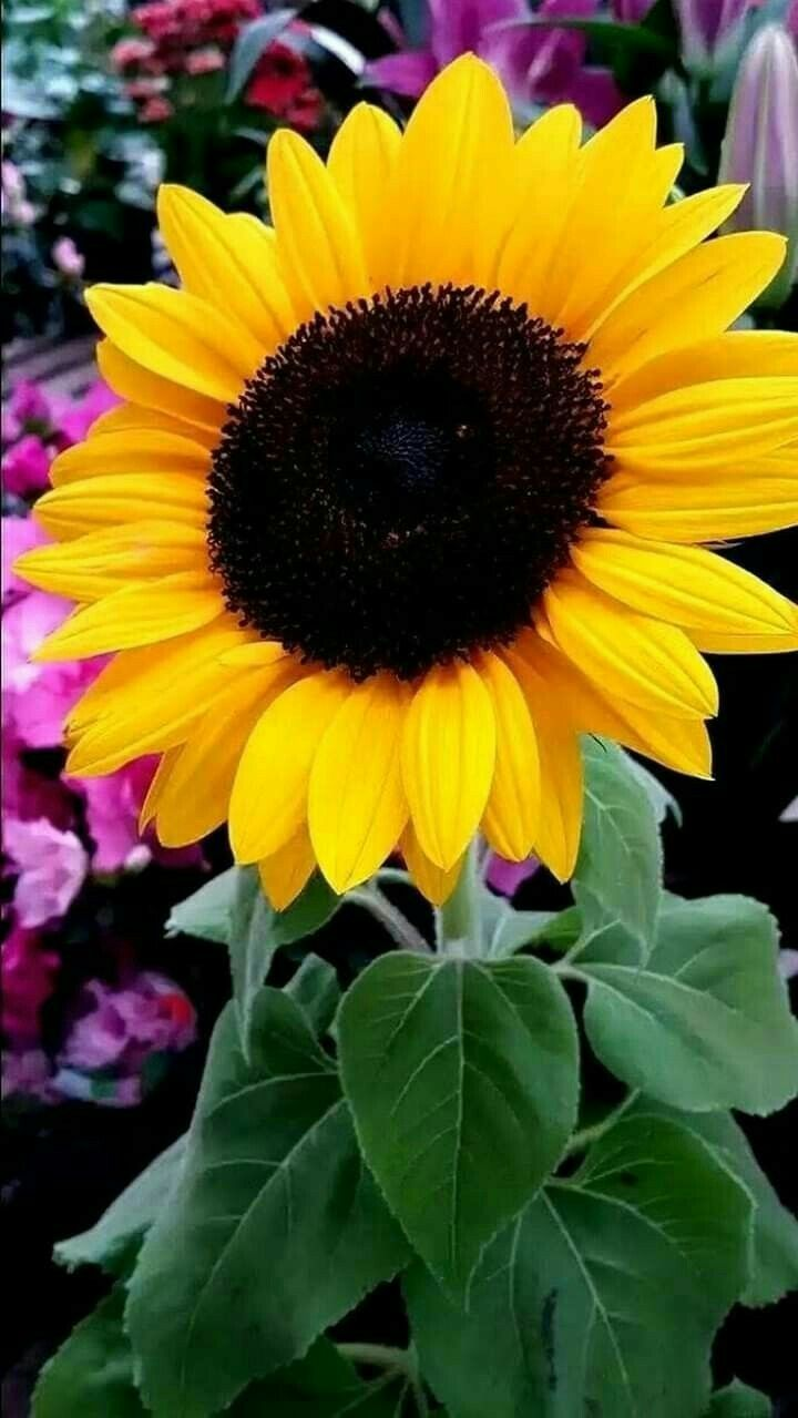 Pin By Jill Lyons On Sunflowers In 2020 Sunflower Flower Sunflower Pictures Beautiful Flowers