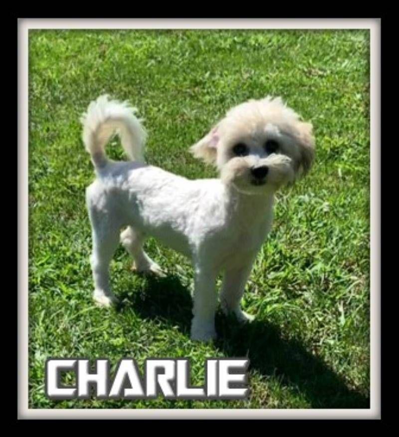 Charlie Male Shih Chon 500 Teddy Bear Puppies Bichon Frise