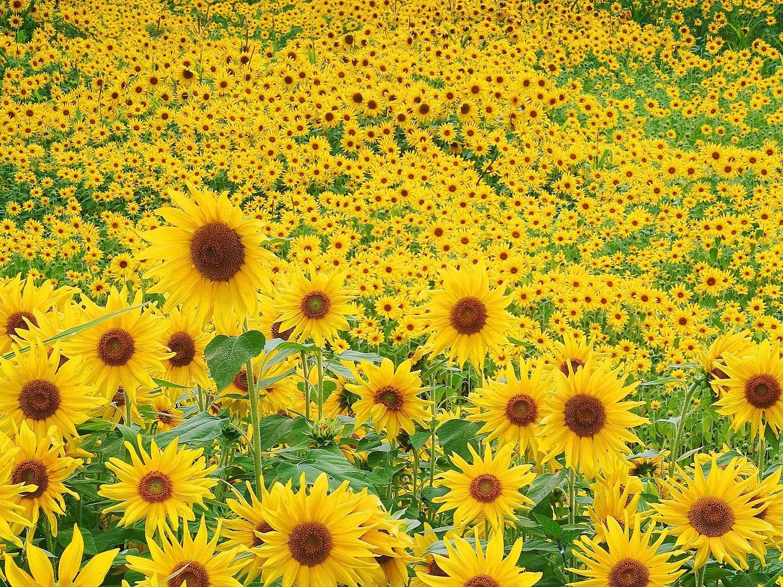 Paisajes Amarillos Campo De Girasoles Flor Girasol Girasoles