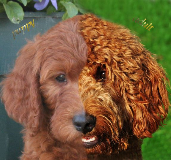 Goldendoodle Wavy Coat Know About Goldendoodles