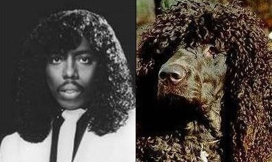 Rick James Dog Lookalike Irish Water Spaniel Celebrity Dogs