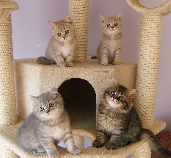 The Nursery British Shorthair Kittens Kittens Cutest Cat Breeder