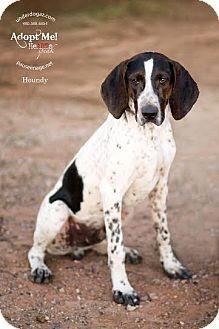Mesa Az German Shorthaired Pointer Bluetick Coonhound Mix Meet