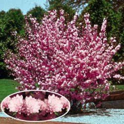 Flowering Almond Shrub Planting Flowers Trees To Plant Flowering Trees