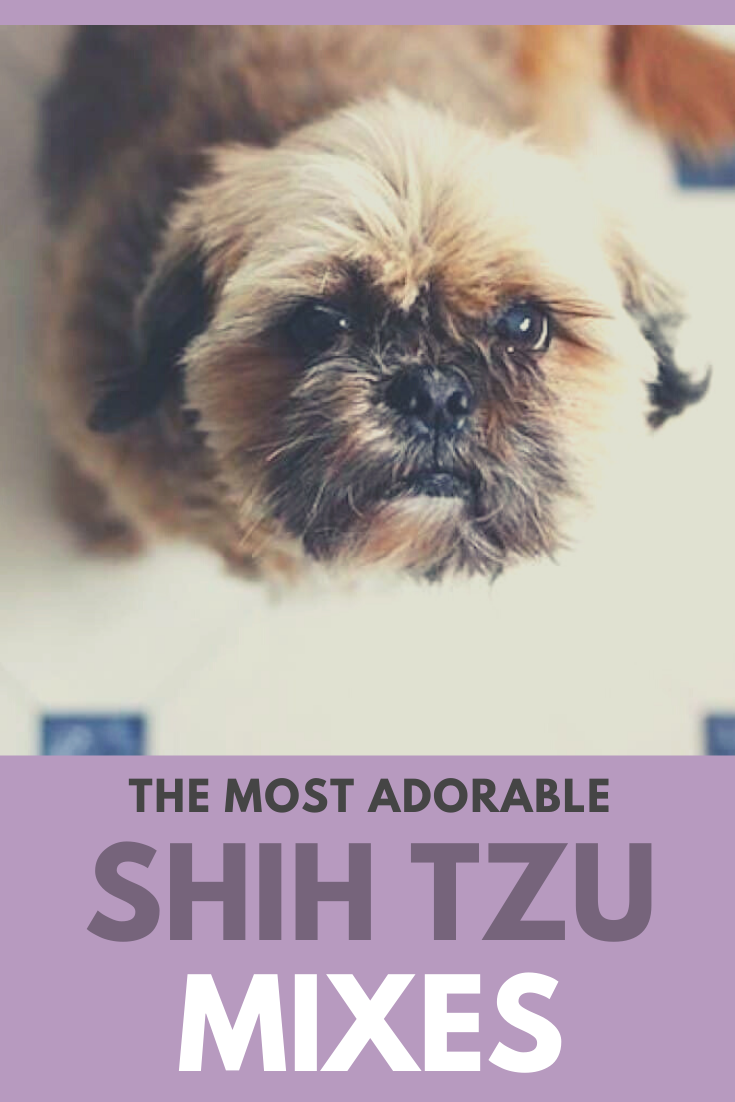 26 Shih Tzu Mixes Adorable Shih Tzu Mixed Breeds Shih Tzu Mix Shih Tzu Dog Beds For Small Dogs