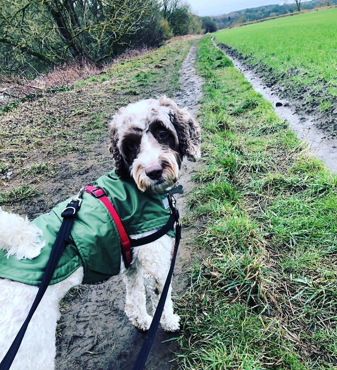 Walkies 🐾 . . . . . #walkies #muddypup #thegreatoutdoors #sproodle #springerpoo #poodlemix #poodle #springerspaniel #dog #puppy #doodle #doodlesofinstagram