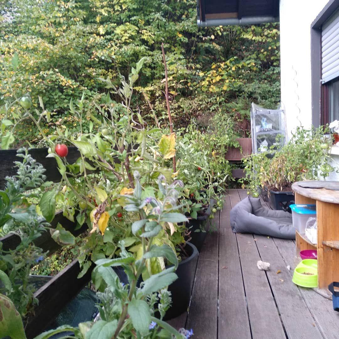Noch Kampft Mein Garten Gegen Den Herbst An Erstaunlich Gut Sehen Zucchini Und Tomaten Noch Aus Unterdessen Sind Selbstversorger Garten Garten Permakultur