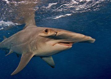 Cuanto Más Grande Es Un Animal Mayor Riesgo De Ser Amenazado Por Los Humanos Animales En Peligro De Extincion Imágenes De Tiburones En Peligro De Extincion