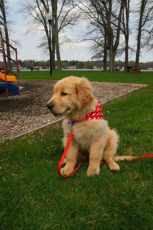 A Happy Well Trained Golden Retriever Puppy Fully Housebroken By