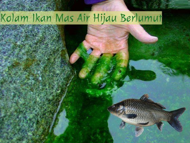 Resep Umpan Ikan Mas Air Hijau Berlumut Terbukti Paling Jitu Yaitu Dengan Tambahan Essen Dari Jaya Essen Aroma Amis Wangi Kuat Yang Akan Men Fish Pet Pets Fish