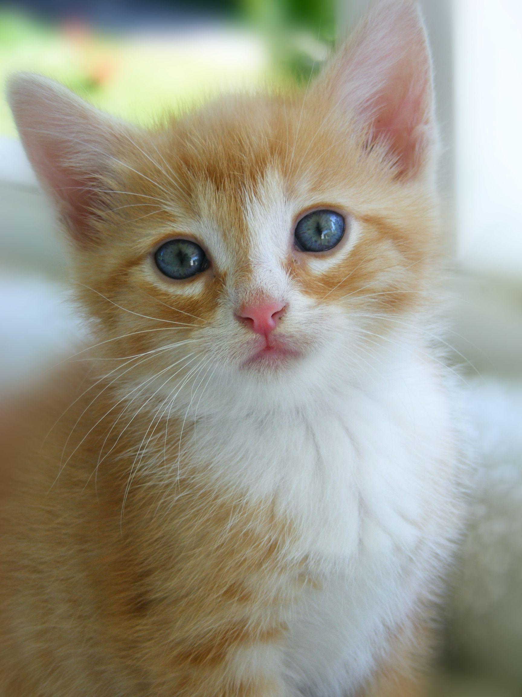 yellow and white kitten