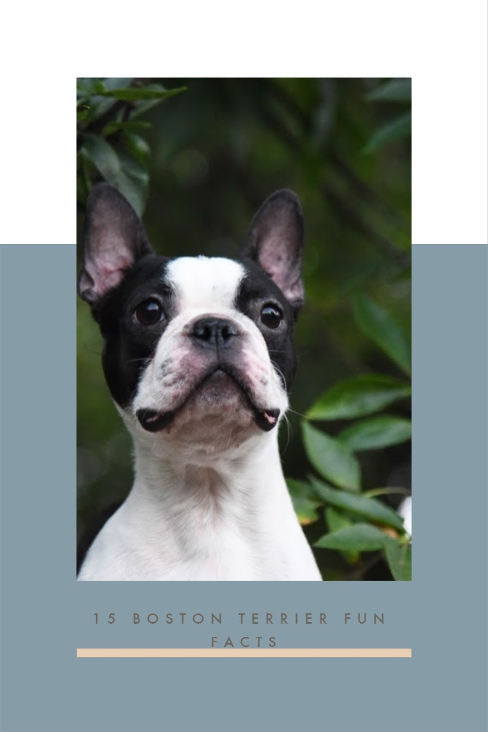 15 Interesting Facts About Boston Terriers Boston Terrier Society In 2020 Boston Terrier Boston Terrier Lover Boston Bull Terrier