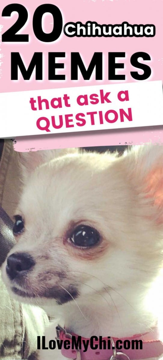20 Chihuahua Memes That Ask a Question in 2020 | Big dog ...
