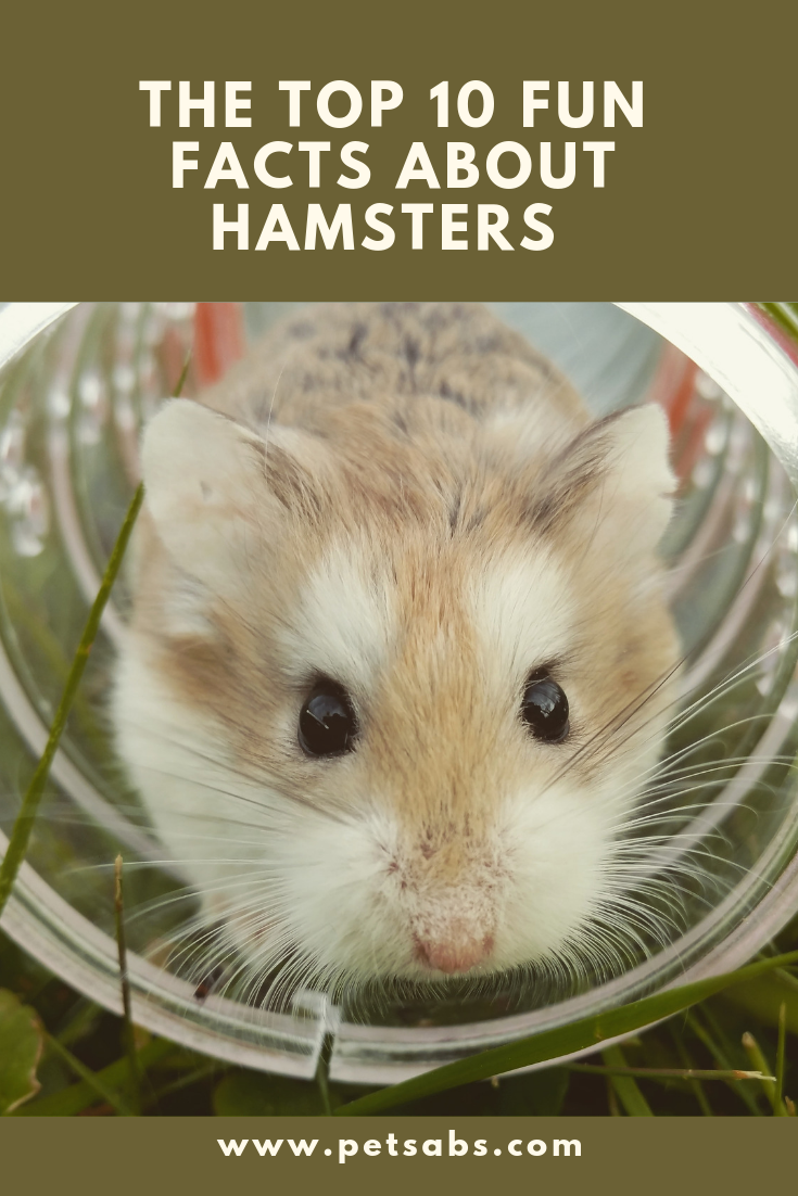 10 Mind Blowing Facts You Have To Know About Hamsters Hamster Hamsters As Pets Fun Facts