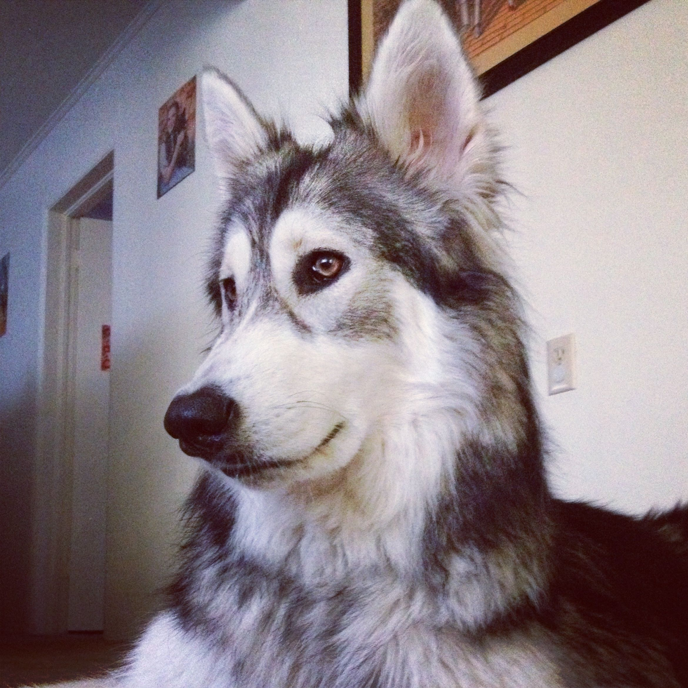 Shi my two year old low content wolfdog