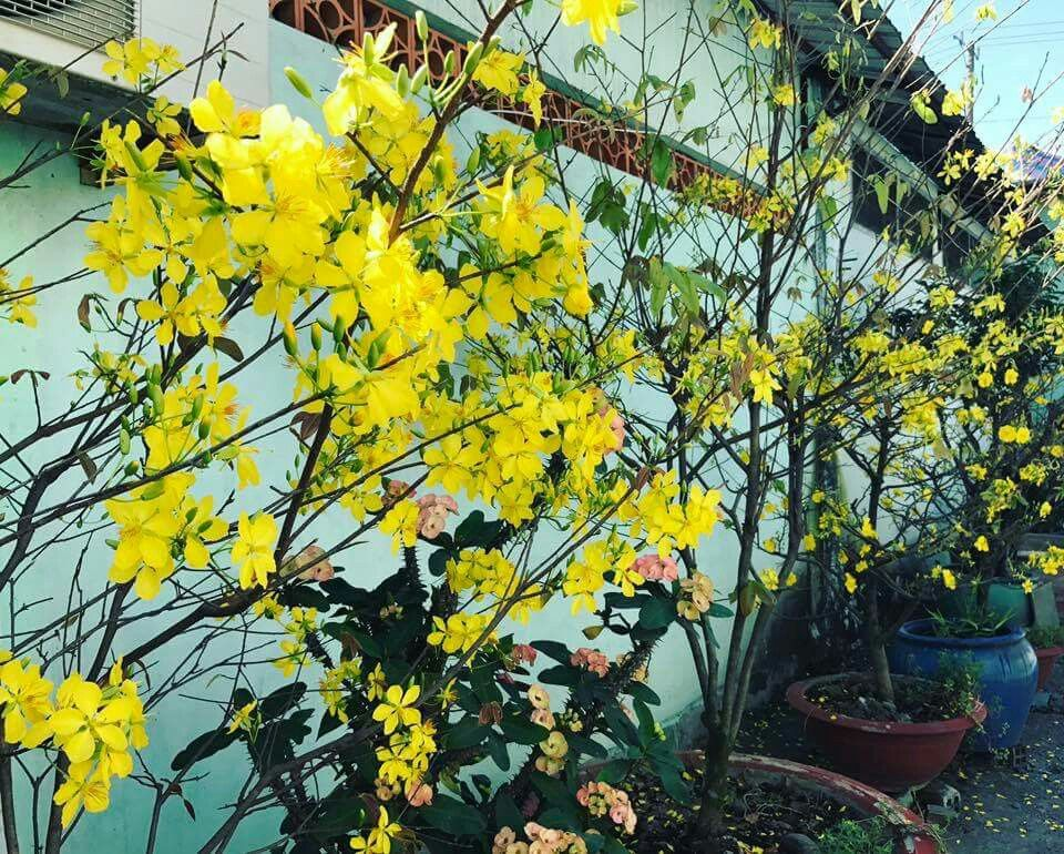 Vietnamese Lunar New Year's symbol flower | New year ...