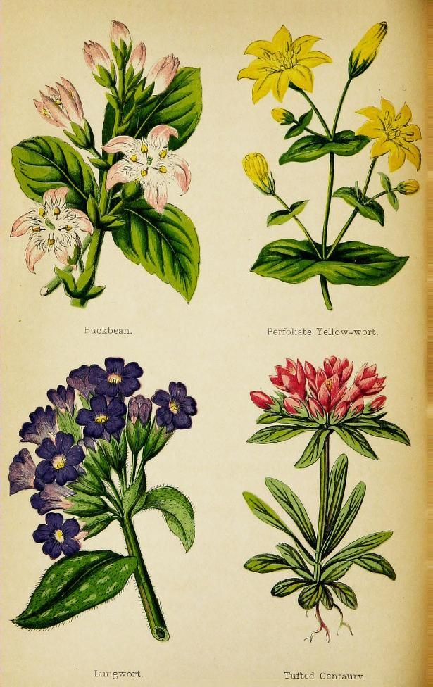 Buckbean, Perfoliate Yellow-wort, Lungwort and Tufted Centaury. Plate from 'Wayside Weeds, or, Botanical Lessons From the Lanes and Hedgerows.' Published 1872 by Groombridge. Author - Spencer Thomson.