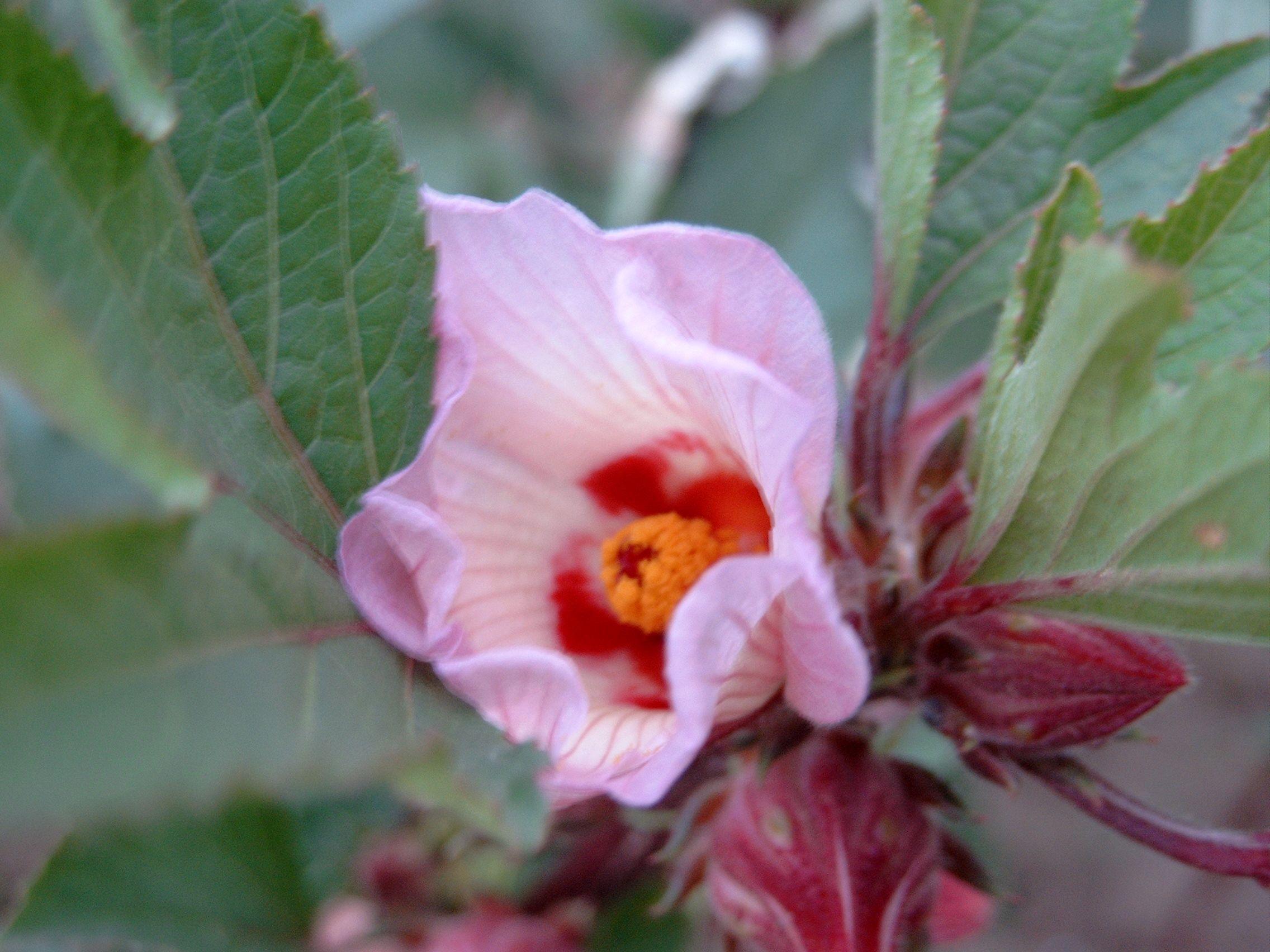 Health Benefits Of Hibiscus Tea Hibiscus Tea Benefits Hibiscus Hibiscus Tea
