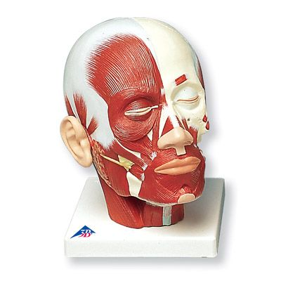 Head and Neck Musculature Model from 3B Scientific Study the muscles ...