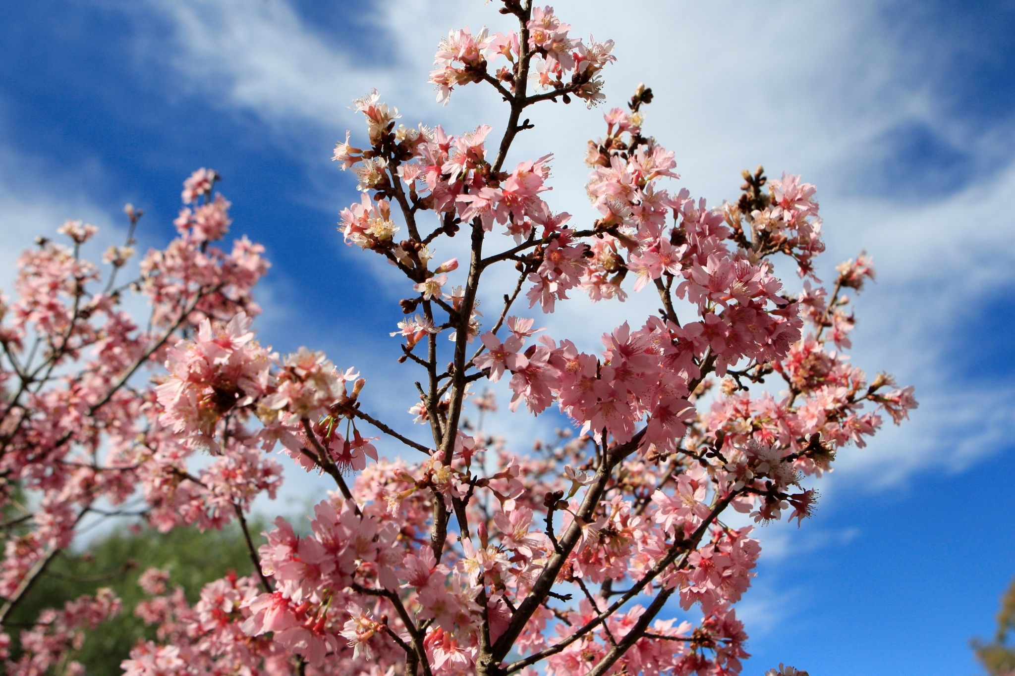 cherry blossom beautiful wallpaper desktop Cherry