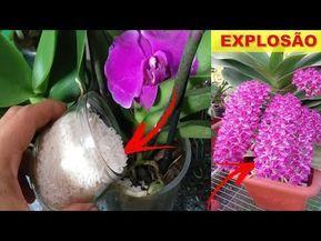 Photo of Coloque Arroz na Orquídea!! (Veja o que acontece)
