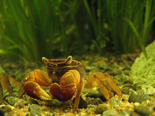 Red Claw Crab Freshwater Aquarium Fish Crab Freshwater Aquarium