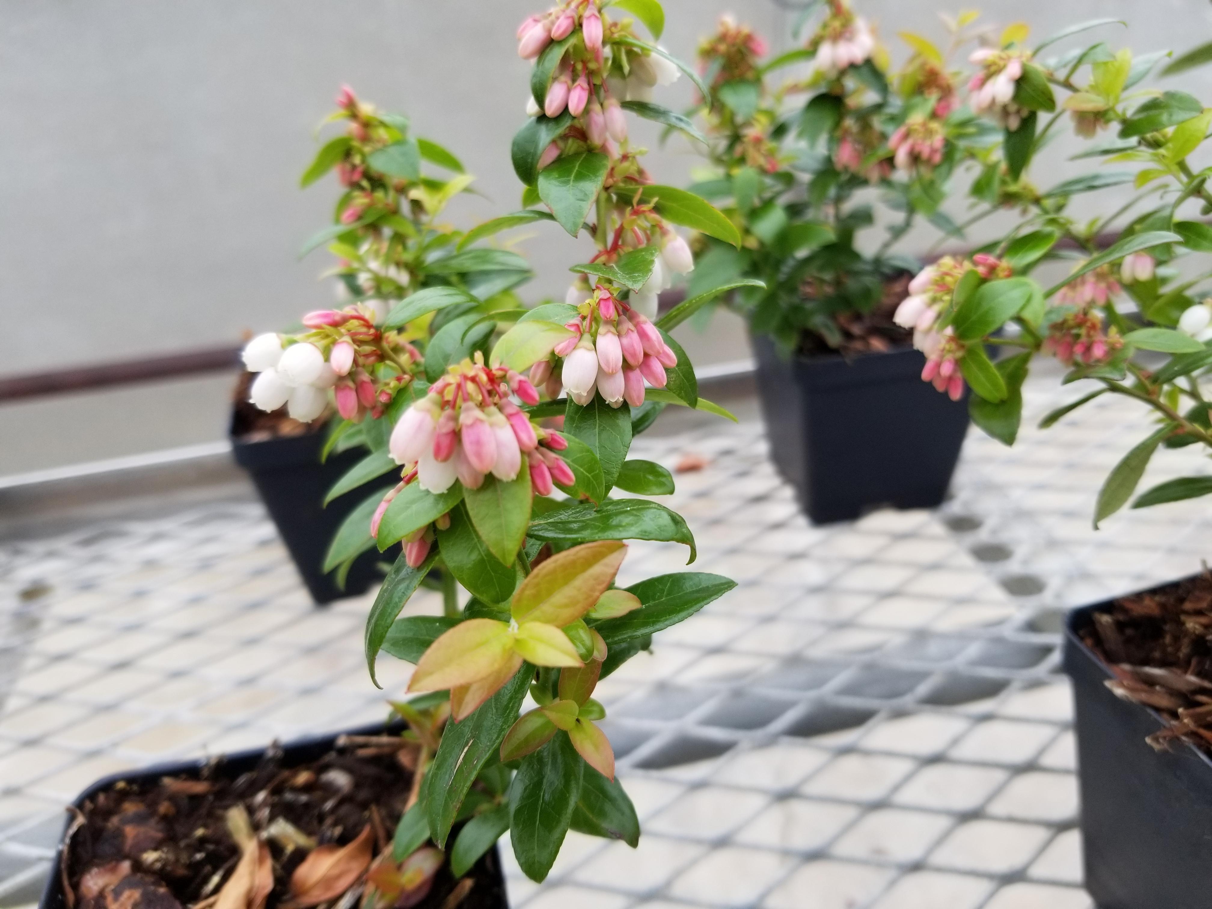 Blueberry flowers (Vaccinium hybrid) [4032x3024] [OC