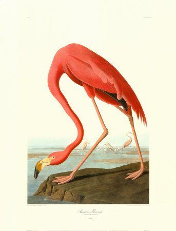 American Flamingo | John Audubon