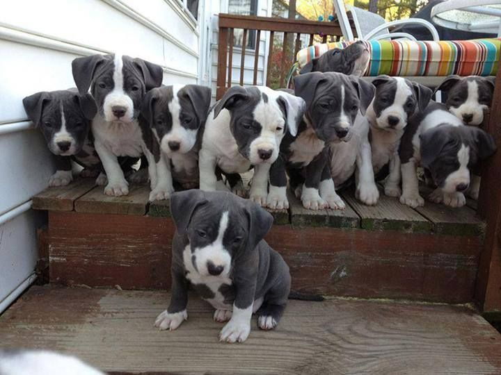 63363954d Ten(10) beautiful dark gray and white Pit Bull pups. Witch one is your  favorite?