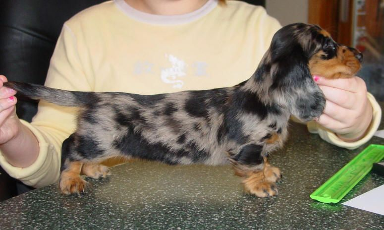 Longhaired Dachsund Long Haired Dachshund Dapple Dapple