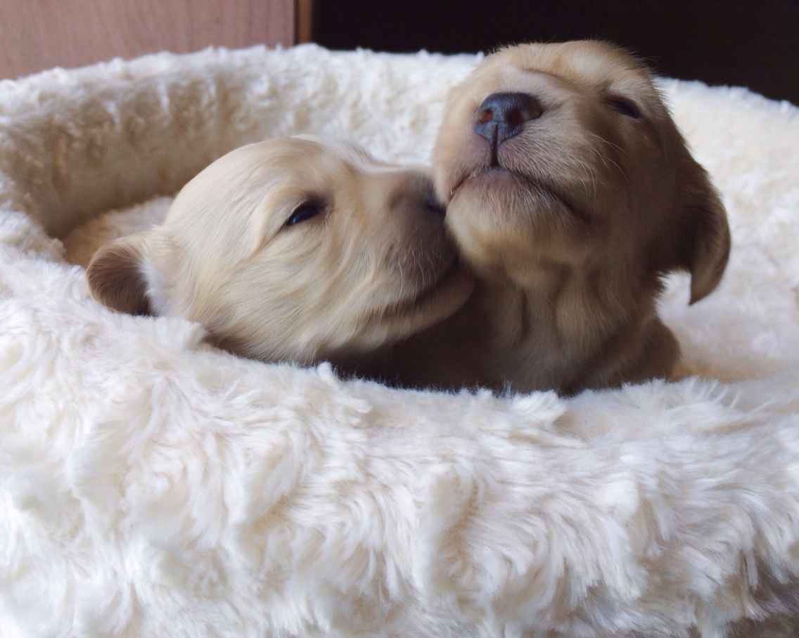 English Cream Dachshund Puppy Kisses Dachshund Puppies