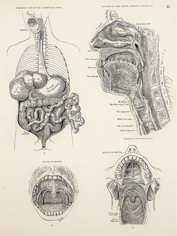 Anatomy Of The Digestive System Mouth Throat Stomach Antique