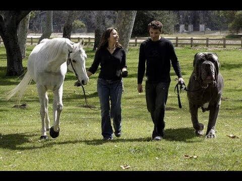 Actual English Mastiff Next To A Horse Worlds Biggest Dog Giant