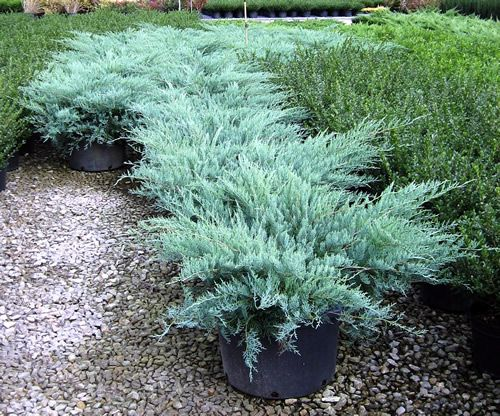 Grey Owl Juniper Spreads To About 4 Architectural Plants