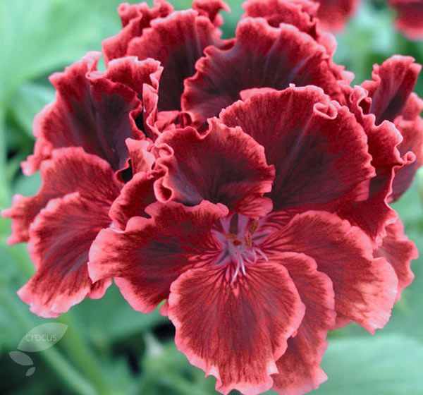 Martha Washington Geraniums Care: Buy Three Regal Pelargoniums Pelargonium 'Rimfire