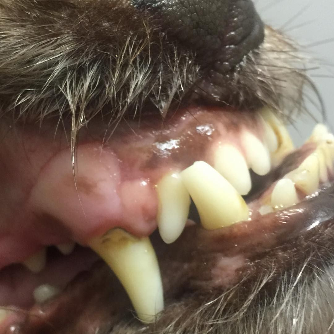 "TapVet Pets on Instagram ""underbite dog pet dogs dog"