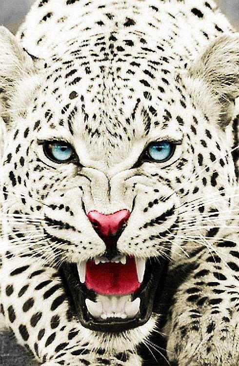 leopardo blanco | Leopardos- Gueopardos- Chitas | Pinterest ...
