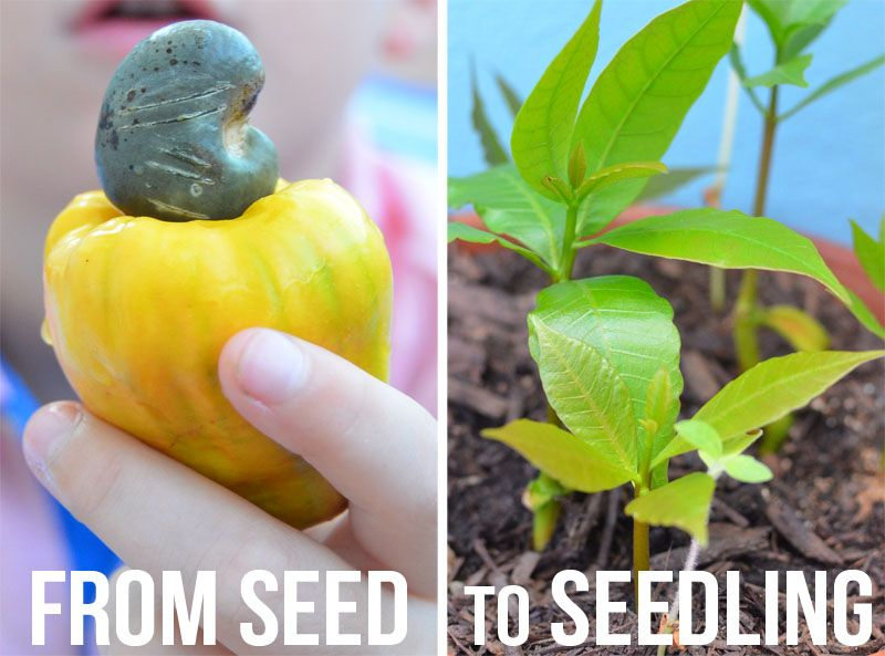 How Cashew Nuts Grow Cashew nut, Seeds, Growing