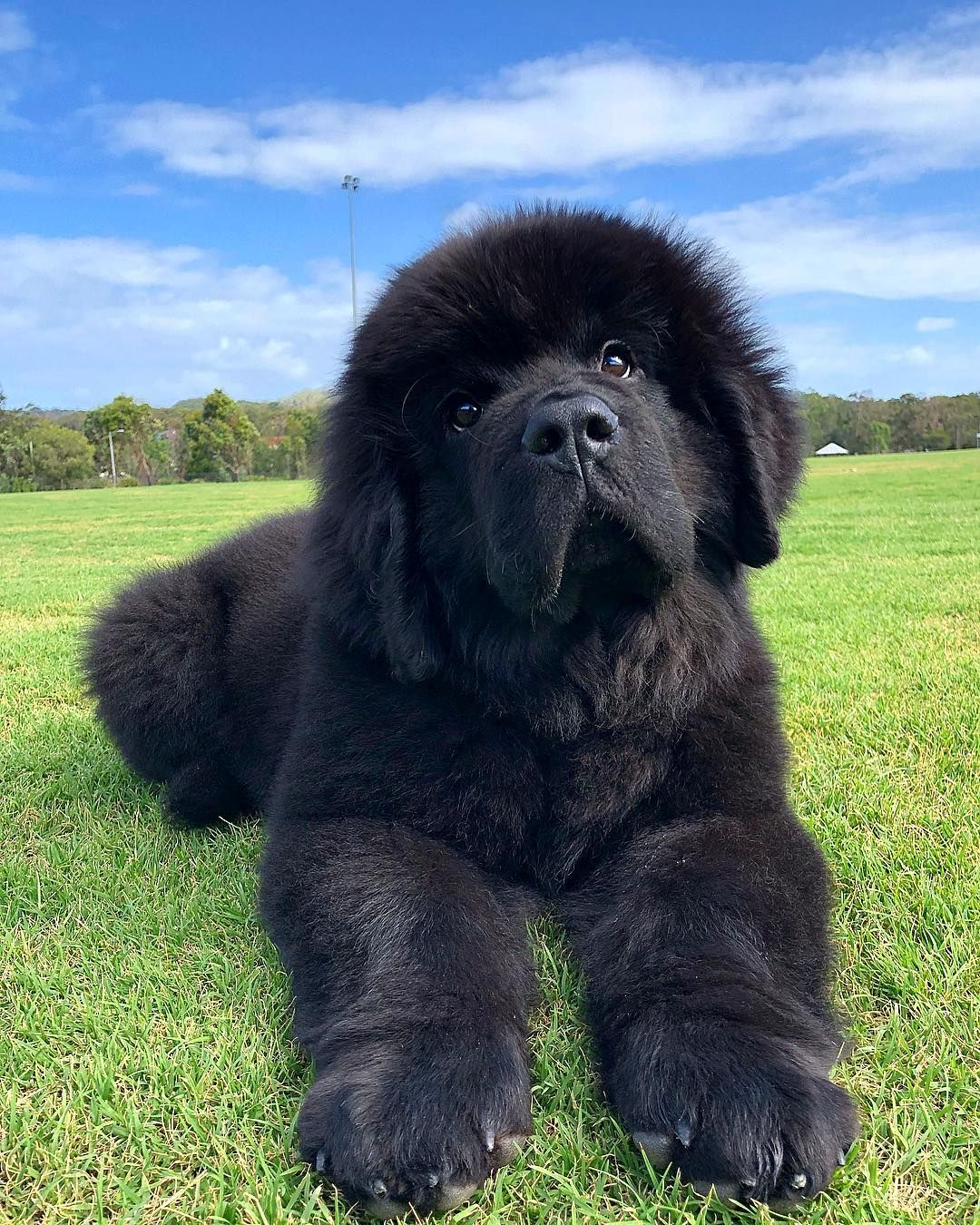 La Imagen Puede Contener Cesped Exterior Y Naturaleza Newfoundland Puppies Large Dog Breeds Kittens And Puppies