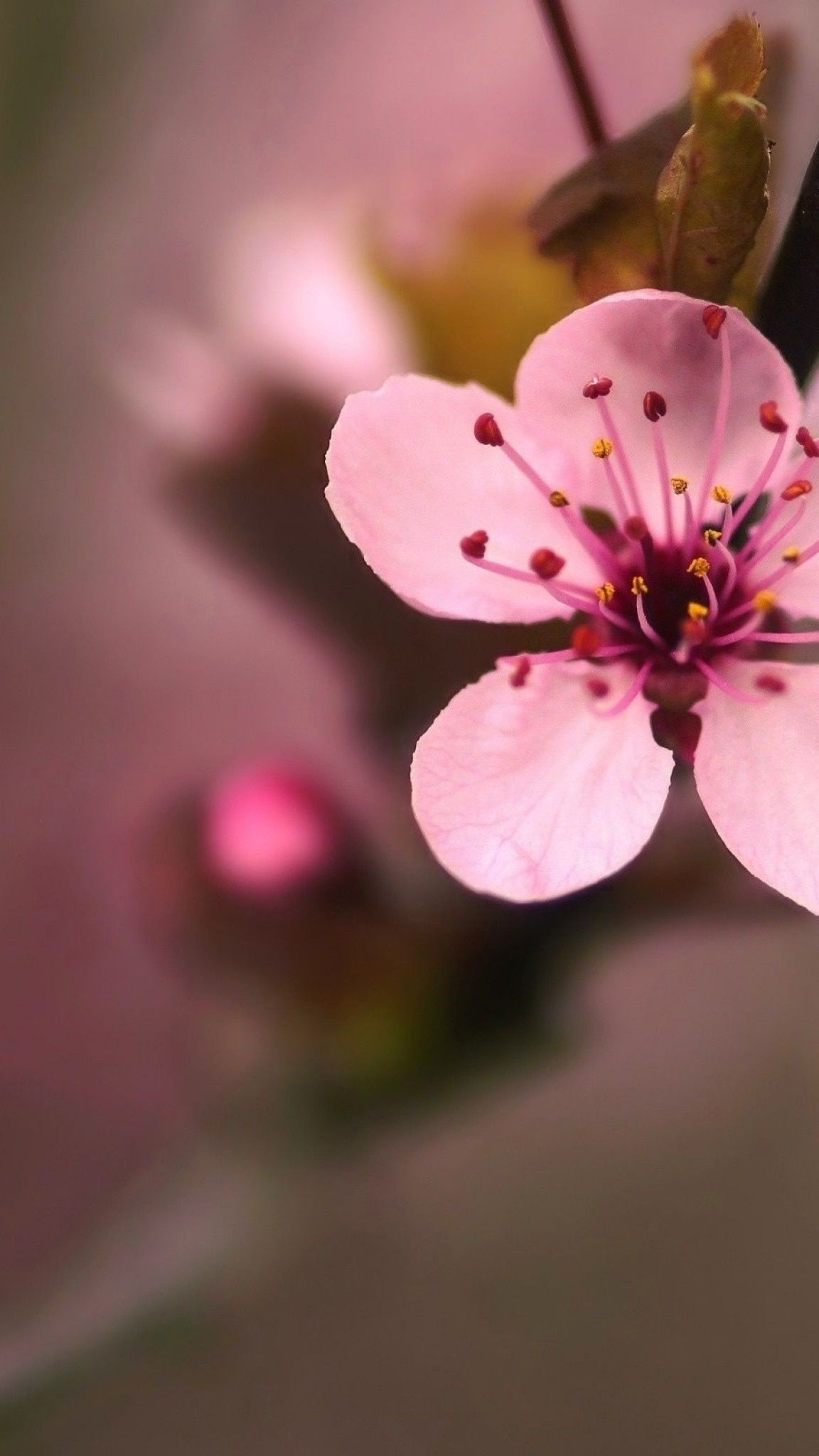 Pin By Maria Martinez On Wallpapers For My Phone Cherry Blossom Flowers Iphone 6 Flower Wallpaper Cherry Blossom Wallpaper