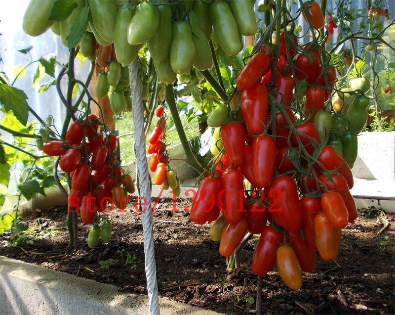 100 UNIDS gran árbol de tomate cherry semillas italia nueva tomate semillas NO-GMO plantación de frutas y semillas de hortalizas para el jardín de su casa