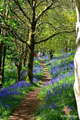 Bluebell woods, Muncaster Castle