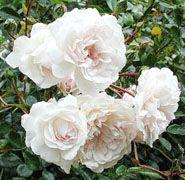 rosa blanca sempervivens