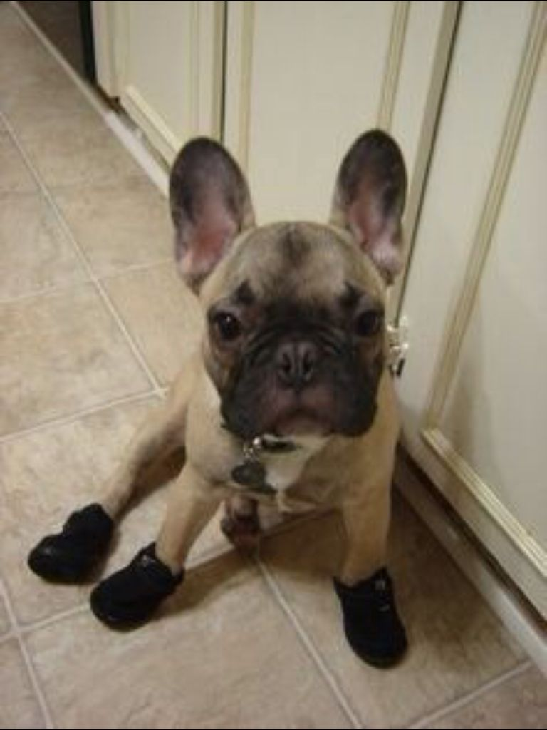 French Bulldog Puppy With Her Rain Boots On So Cute French