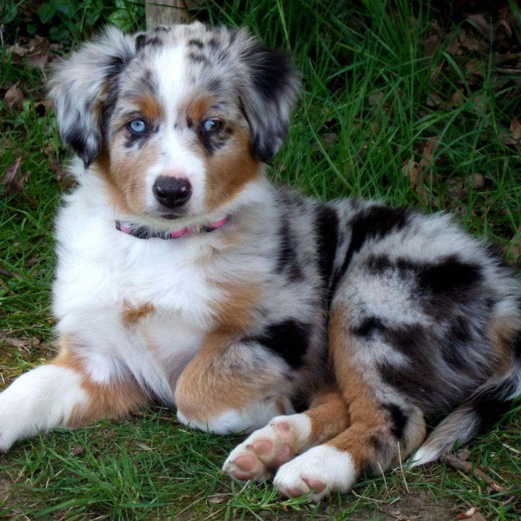Miniature Australian Shepherd Breed Guide Learn about