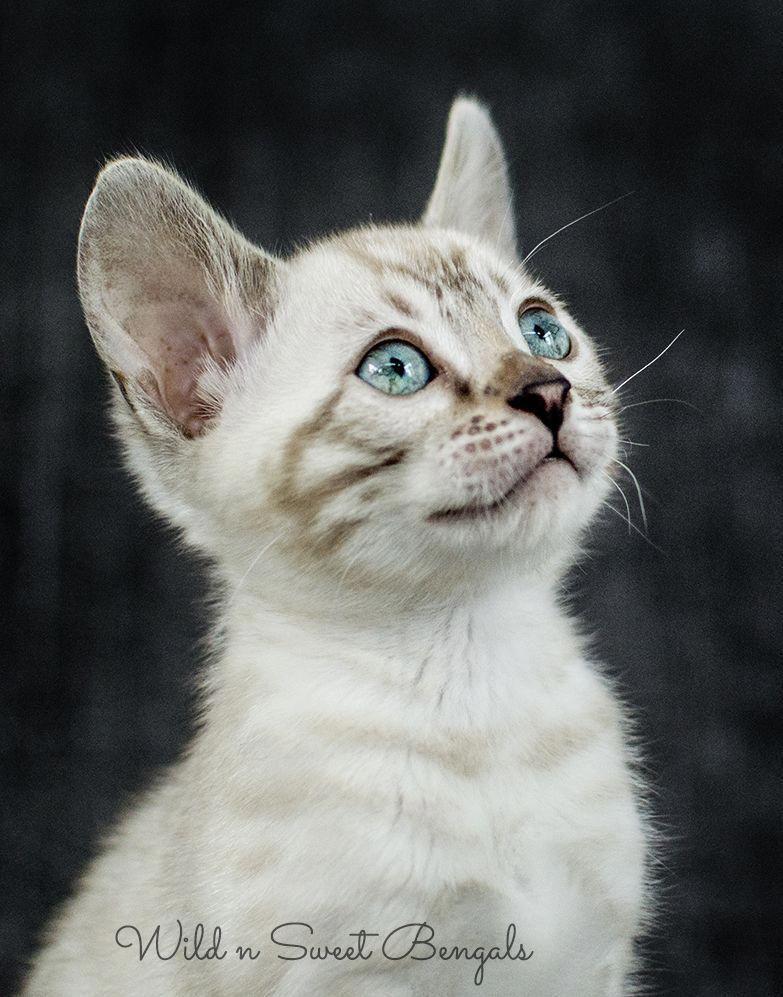 snow bengal kitten! See more beautiful bengal