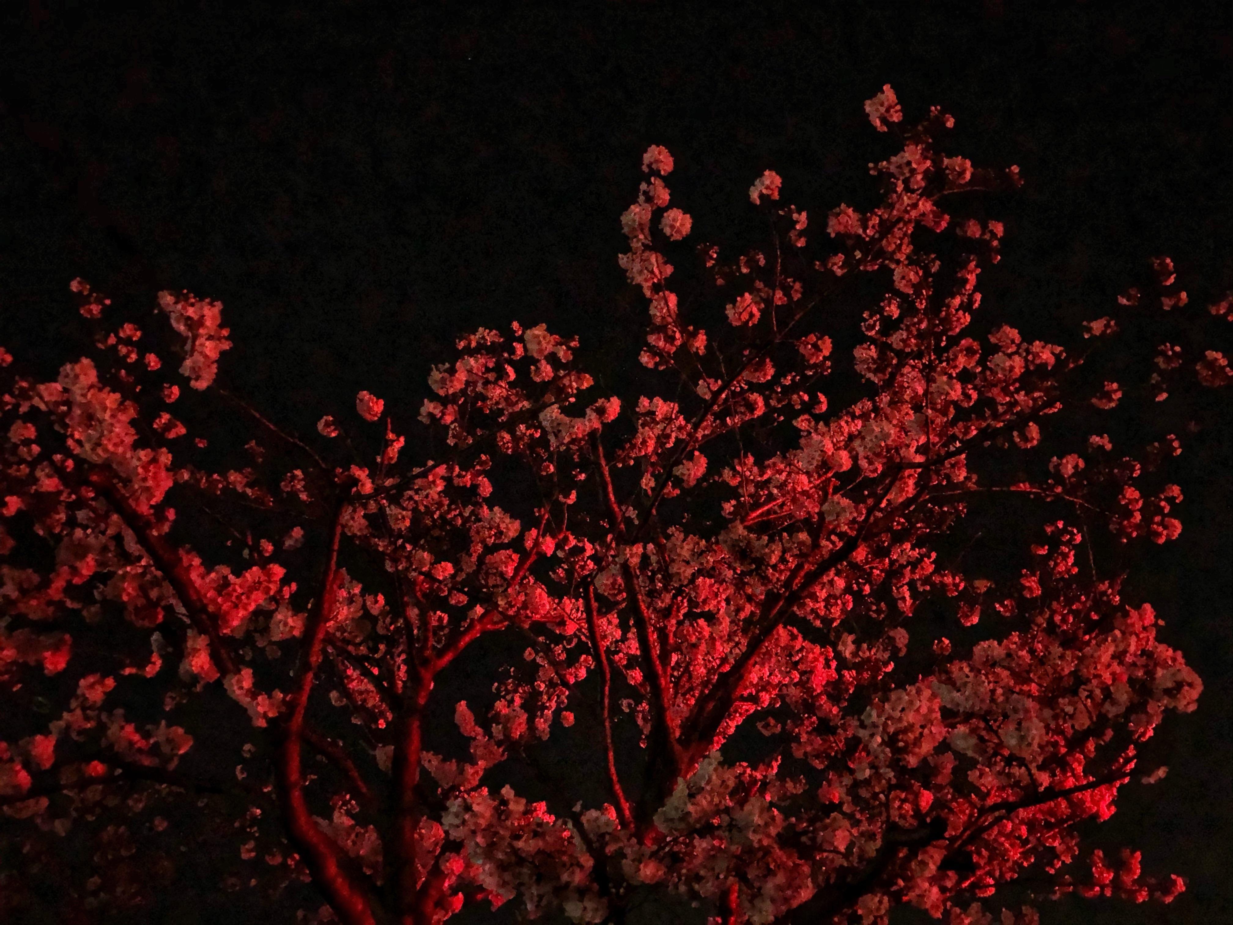 A Red Traffic Light Was Lighting Up This Cherry Blossom Tree Oc Fukuoka Cherry Blossom Japan Red Cherry Blossom Cherry Blossom Tree