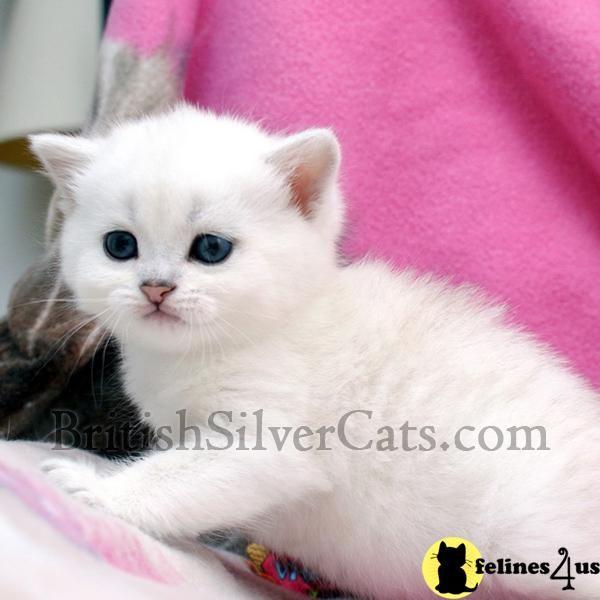 Green Eyed Rare British Short Hair Kittens For Sale British