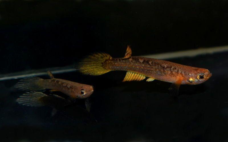 Pair of Rivulus ornatus Loreto PER 15-07 (Rare Killifish