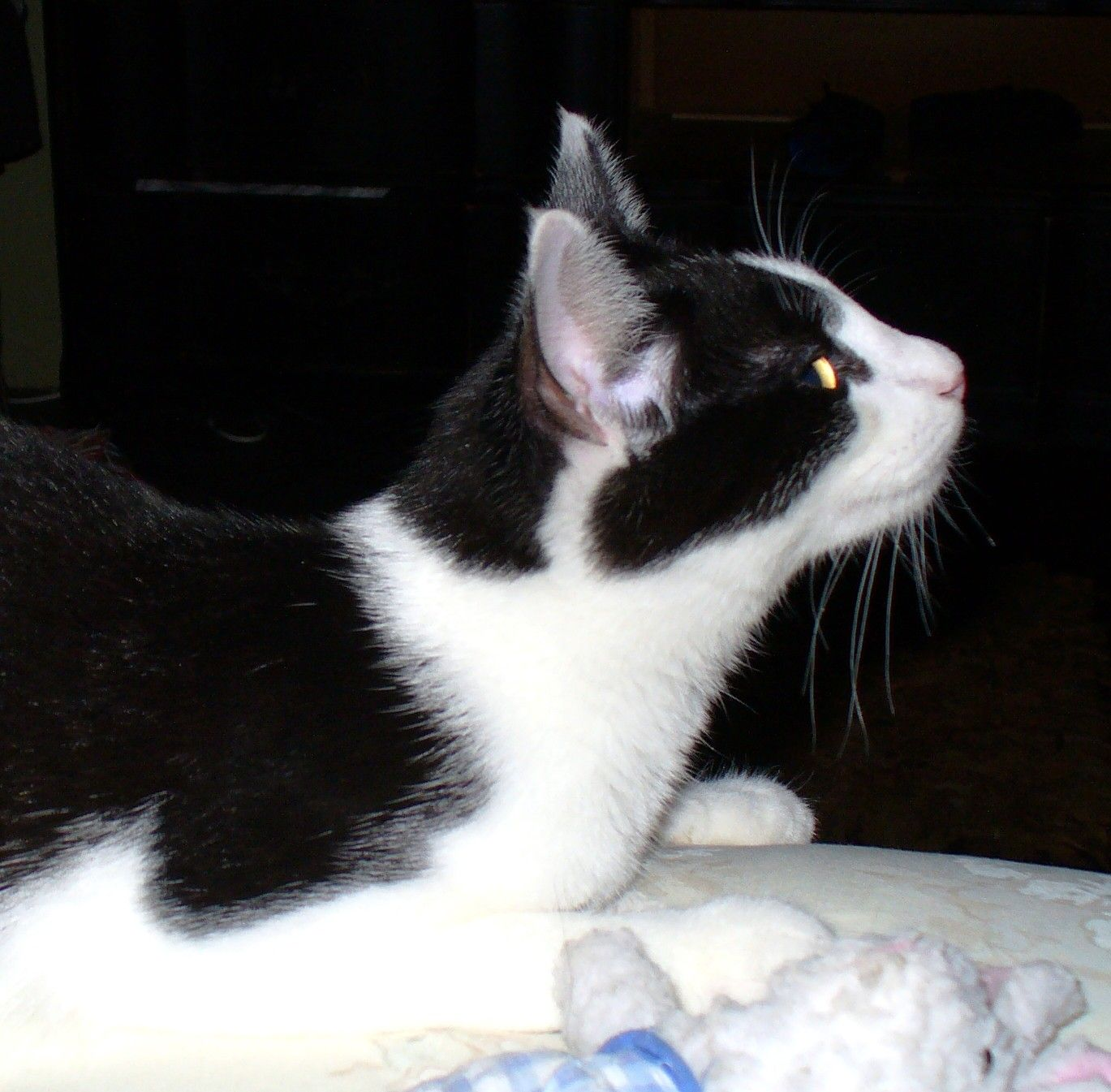 Elvis - a sociopathic kitteh